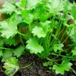 Wąkrota azjatycka – zastosowanie tej roślinki Cię zaskoczy!