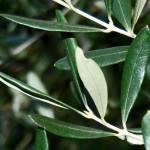 Liść oliwny – gronkowiec, trądzik i spółka