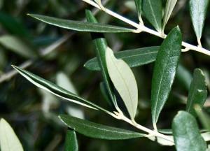 Liść oliwny