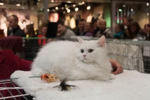 Wystawa kotów w Łodzi 2013